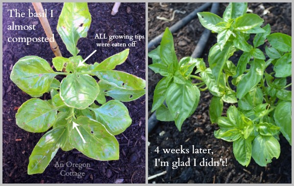 Most Bug-Eaten Basil Before and After homemade Garlic-Mint Garden Insect Spray