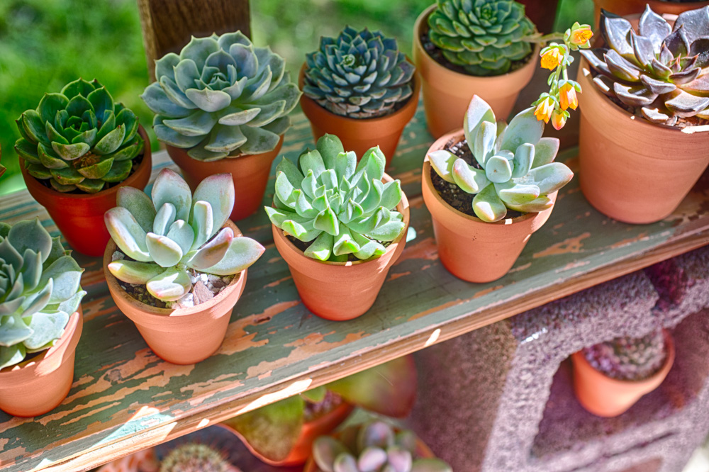 How to Grow Succulents for Beginners | FaithFoodFamilyFun