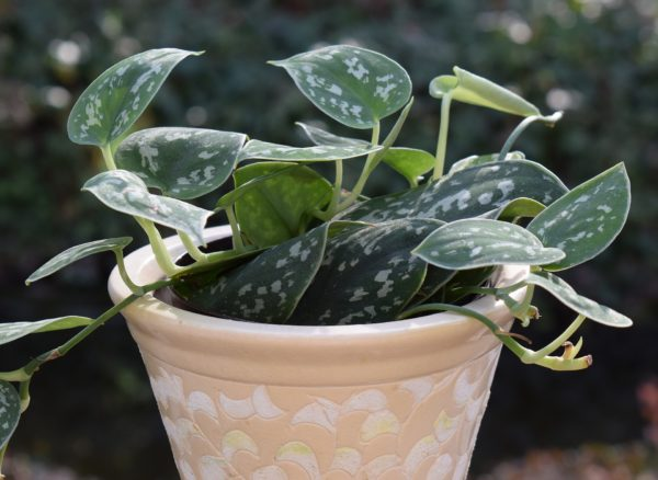 philodendron - perfect hanging plants