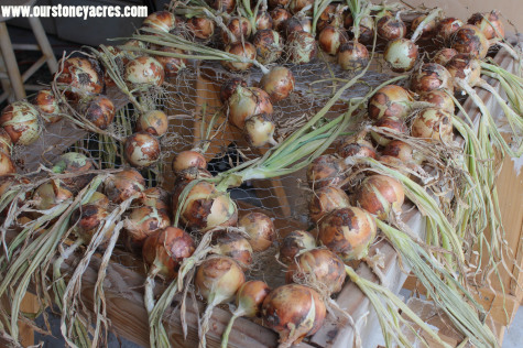 Growing Onions curing