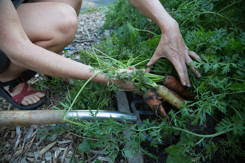 digging up carrots from how to start a small vegetable garden