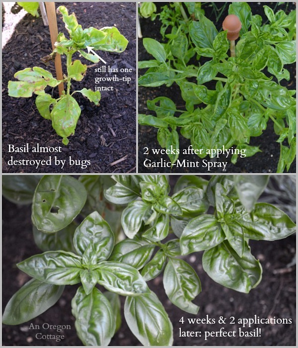 Bug-Eaten Basil Before and After homemade Garlic-Mint Garden Insect Spray