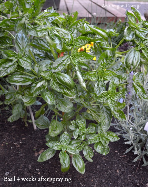 Bug-Eaten Basil After homemade Garlic-Mint Garden Insect Spray