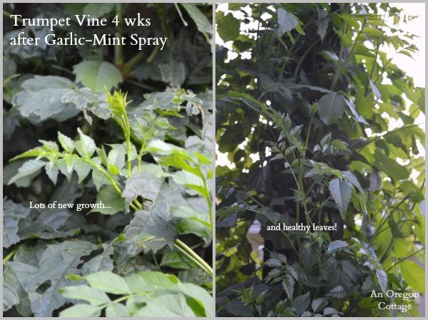 Trumpet Vine After Garlic-Mint Spray