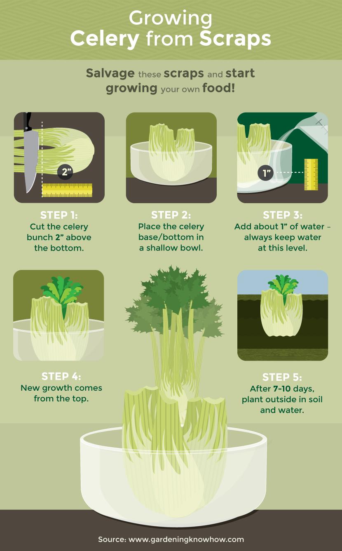 Growing Celery From Scraps