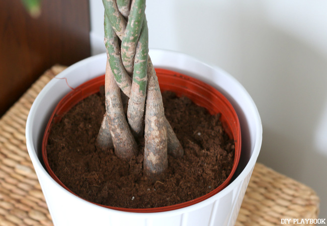 3-Pachira-aquatica-braided-trunk-indoor-houseplant