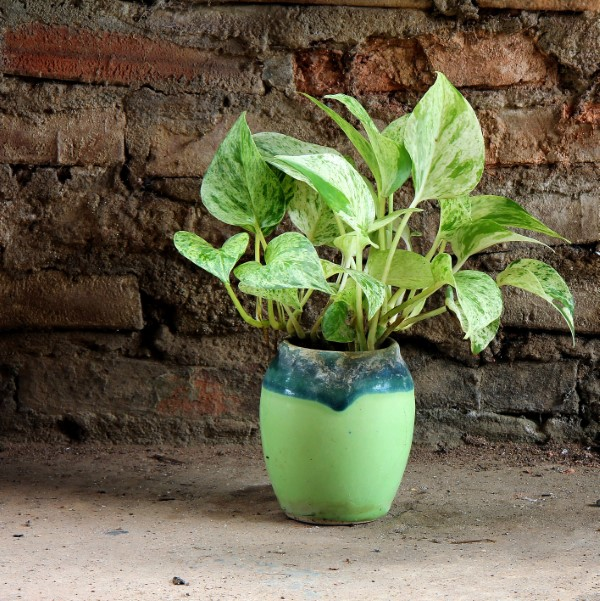Devil's ivy growing in a ceramic pot