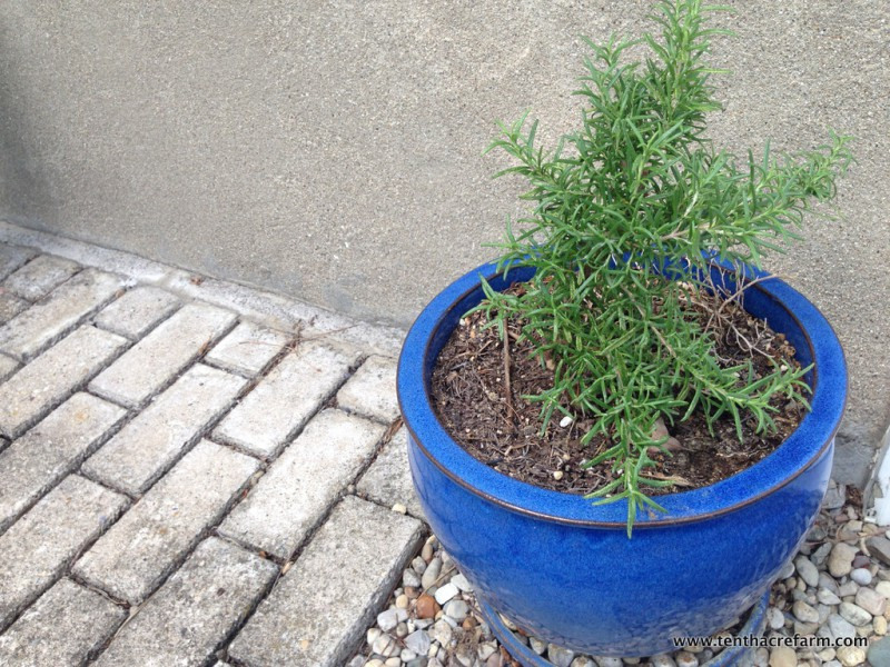 The Secret to Keeping Rosemary Alive Indoors: Growing rosemary indoors is a little tricky. If you experience cold winters, follow these tips to keep your potted rosemary alive inside.