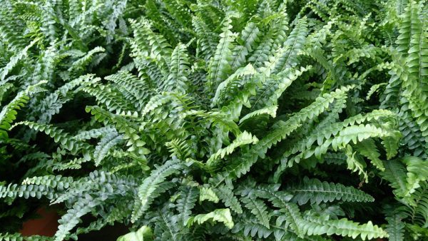 boston fern hanging plants