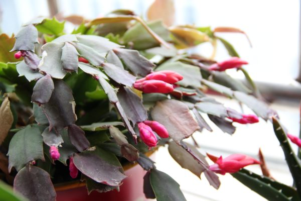 christmas cactus - hanging plants for hanging planter