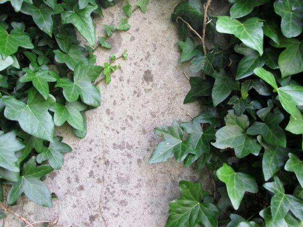 english ivy hanging plants