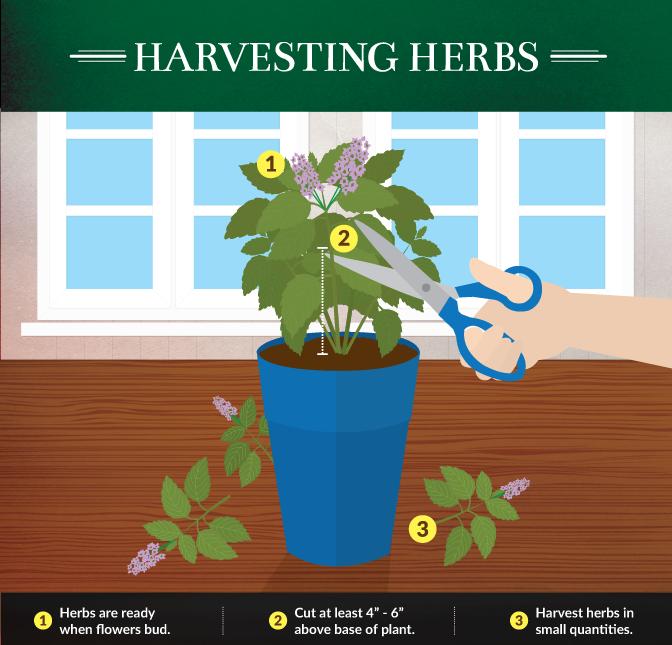 Kitchen Gardening - How to Harvest Herbs Properly