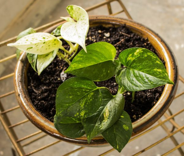 pothos indoor hanging plants for hanging planter