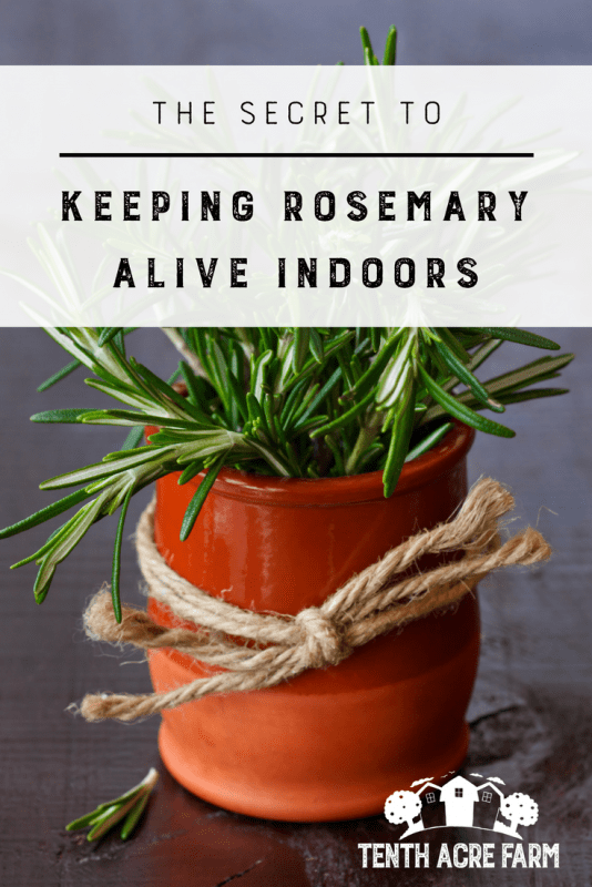 The Secret to Keeping Rosemary Alive Indoors: Growing rosemary indoors is a little tricky. If you experience cold winters, follow these tips to keep your potted rosemary alive inside. #growingherbs