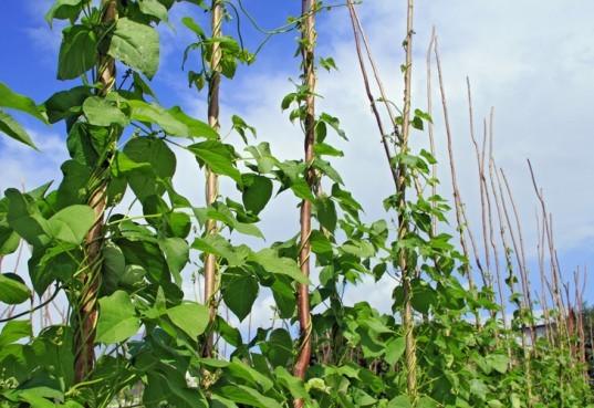 Vertical garden, urban gardening, vertical gardening, climbing plants, climbing food plants, edible climbers