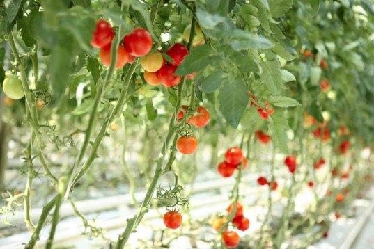 Vertical garden, urban gardening, vertical gardening, climbing plants, climbing tomatoes, edible climbers