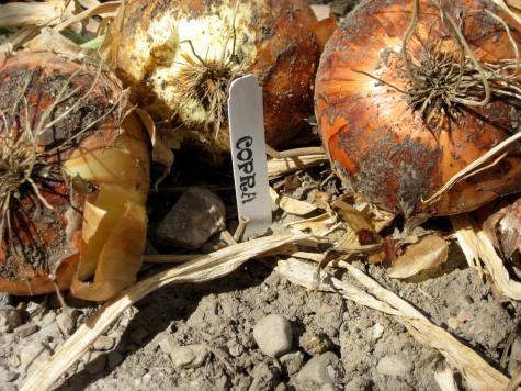 Growing Onions 1