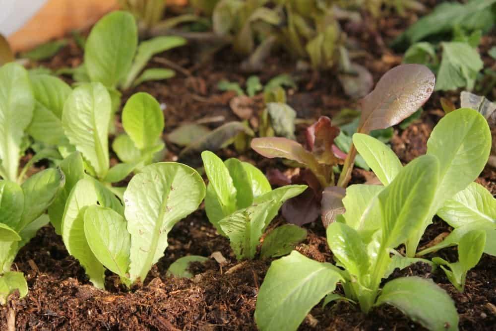 Easy crops for beginner gardeners lettuce