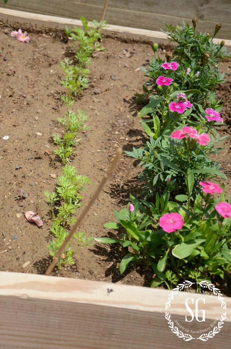 VEGETABLE GARDEN-carrots-stonegableblog.com