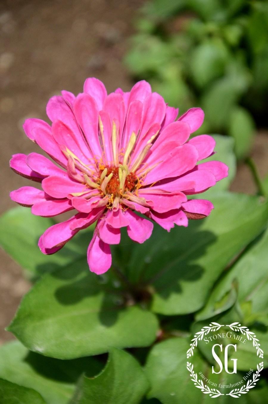 VEGETABLE GARDEN-zinnias-stonegableblog.com