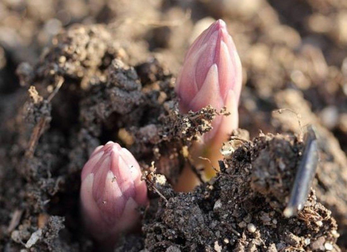 asparagus-ccflcr-aoisakana