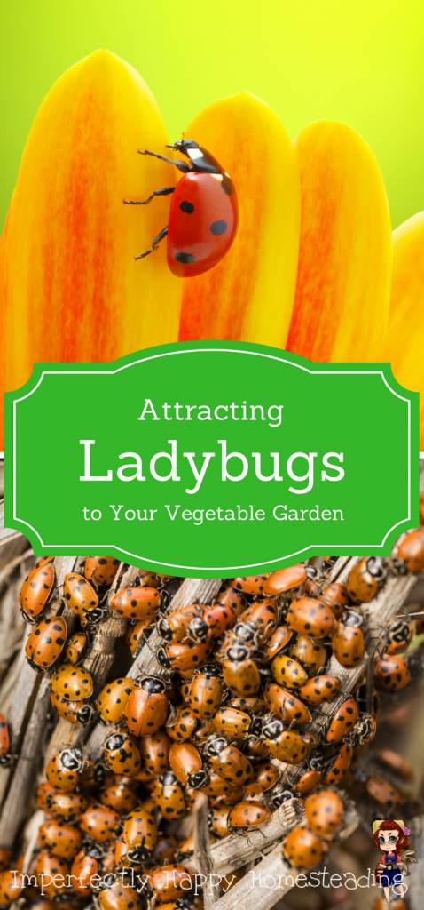 Attracting Ladybugs to Your Vegetable Garden - they'll give you a happier, healthier garden with less pests!