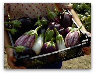 varieties of eggplant