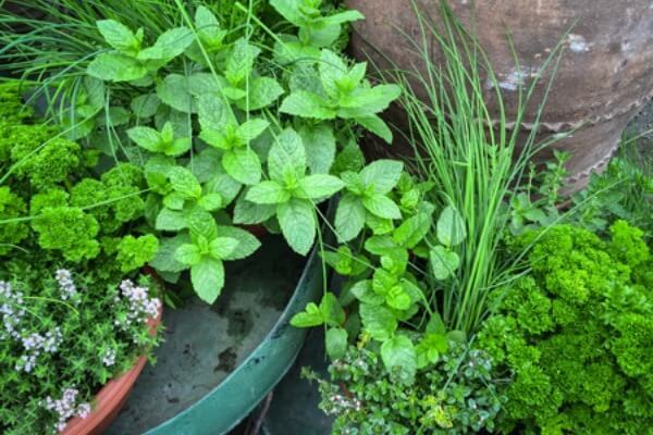 Home Gardening for Beginners. What to grow in a garden for beginners. Gardening for Beginners. Learn all about vegetable gardening for beginners. These are easy foods to grow in the vegetable garden.